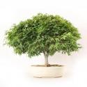 Erable du Japon Acer Palmatum Kotohime bonsaï 39 cm import 2020 ref.20127