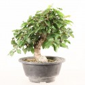 Charme de Corée carpinus coreana prébonsaï 18 cm ref.20143