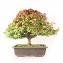 Érable du Japon Kashima 46 cm acer palmatum kashima import Japon 2020 ref.20145