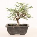 Orme du Japon panaché ulmus parvifolia shohin 14 cm import 2020 ref.20150