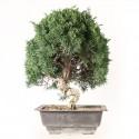 Juniperus chinensis prébonsaï import Corée 2020 ref.20292