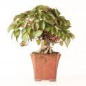 Vigne vierge du Japon parthenocissus tricuspidata bonsaï 31 cm