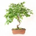 Frêne d'Europe fraxinus sp. bonsaï 35 cm 8 ans ref.21055