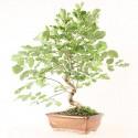 Frêne d'Europe fraxinus sp. bonsaï 45 cm 8 ans ref.21056