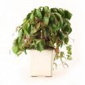 Vigne vierge du Japon parthenocissus tricuspidata bonsaï 29 cm ref.21060