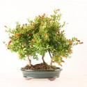 Grenadier punica granatum bonsaï forêt 30 cm 10 ans