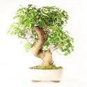 Murier morus sp. bonsaï 54 cm ref.21080