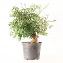 Frêne Oxyphylle fraxinus angustifolia prébonsaï 15 ans 32  cm ref.21081