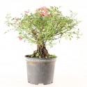 Rosier sauvage rosa sp. prébonsaï 25 cm ref.21101