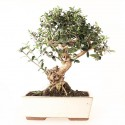 Olivier sauvage bonsaï olea europaea sylvestris 34 cm ref.21129