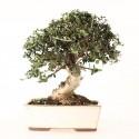 Olivier sauvage bonsaï olea europaea sylvestris 32 cm ref.21130