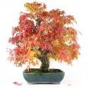 Érable à écorce de liège acer palmatum arakawa bonsaï 55cm