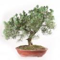 Juniperus bonsaï prélèvement 58 cm ref.BDS1532
