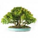 Erables trident acer buergerianum bonsai forêt spécimen