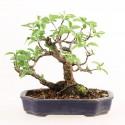 Pommier du Japon malus sieboldii shohin bonsaï import 2017 ref.17126