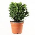 Cèdre du Japon cryptomeria japonica Vilmoriniana plant de 3 ans