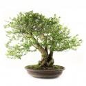 Durantha d'Indonésie bonsaï spécimen 70cm 25 ans