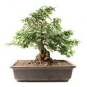 Hêtre d'Europe pré-bonsai spécimen 58cm