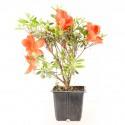 Azalée du Japon Azalea Japonica Sakata Red jeune plant 2 ans