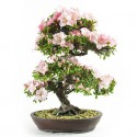 Azalée satsuki Kaho bonsaï 65cm spécimen import Japon