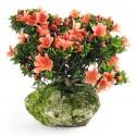 Azalée satsuki kazan bonsai sur roche import Japon