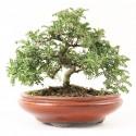 Osteomeles subrotunda shohin bonsaï 24 cm