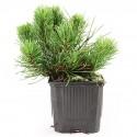 Pin de montagne pinus mugo mughus jeune plant de 1 an
