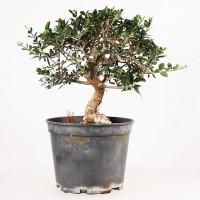 Pr bonsa grand choix de pr bonsa s travailler espagne olivier bonsai ka - Olivier olea europaea prix ...