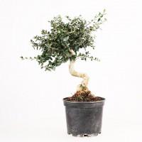 Bonsa s pr bonsa s et jeunes plants achat vente bonsa pr bonsa et jeunes plants bonsai ka - Olivier olea europaea prix ...