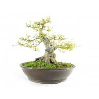 Érable de burger acer buergerianum bonsai spécimen 57cm