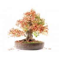 Érable de burger acer buergerianum bonsai spécimen 45cm