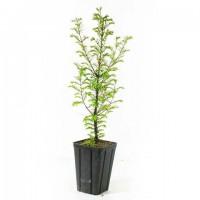 Sequoia de Chine metasequoia glyptostroboides jeune plant 2 ans