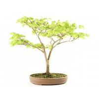Acer japonica aurea shirasawanum 60cm 17 ans