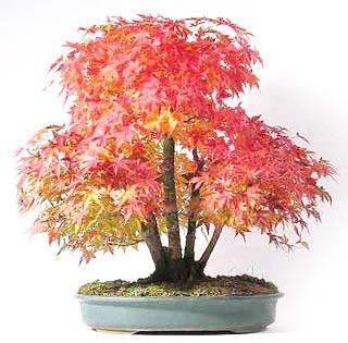 Fiche de culture et d 39 entretien de l 39 rable du japon en for Entretien bonsai interieur
