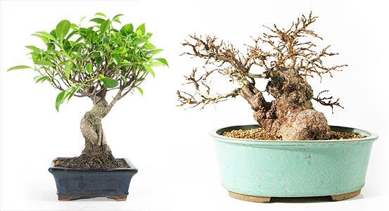 Bonsaï d\'intérieur ou d\'extérieur ? - bonsai-ka