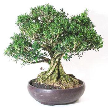 fiche de culture et d 39 entretien du buis de chine en bonsa bonsai ka. Black Bedroom Furniture Sets. Home Design Ideas