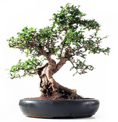 Fiche de culture et d 39 entretien du carmona ou th de fukien en bonsa bonsai ka - Entretien d un ficus ...