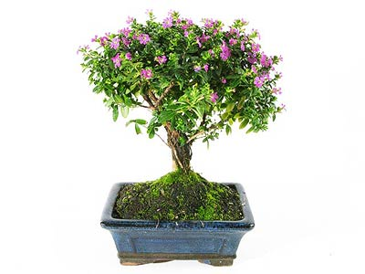 fiche de culture et d 39 entretien du cuph a en bonsa bonsai ka. Black Bedroom Furniture Sets. Home Design Ideas