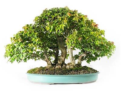 Fiche de culture et d 39 entretien de l 39 rable de burger en bonsa bonsai ka - Terre pour erable du japon ...