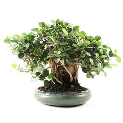 Quelle esp ce choisir pour mon premier bonsa d 39 int rieur bonsai ka - Entretien d un ficus ...