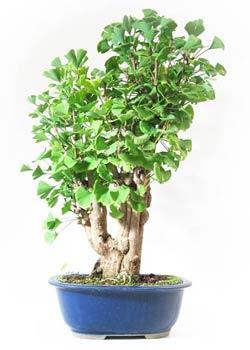 fiche de culture et d 39 entretien du ginkgo biloba en bonsa. Black Bedroom Furniture Sets. Home Design Ideas