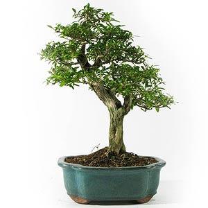 fiche de culture et d 39 entretien du serissa en bonsa bonsai ka. Black Bedroom Furniture Sets. Home Design Ideas