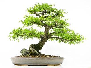 fiche de culture et d 39 entretien de l 39 orme de chine en bonsa bonsai ka. Black Bedroom Furniture Sets. Home Design Ideas