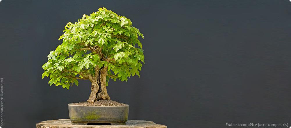Design jardin japonais bonsai aulnay sous bois 29 jardin japonais hasselt arbre japonais Jardin japonais bonsai